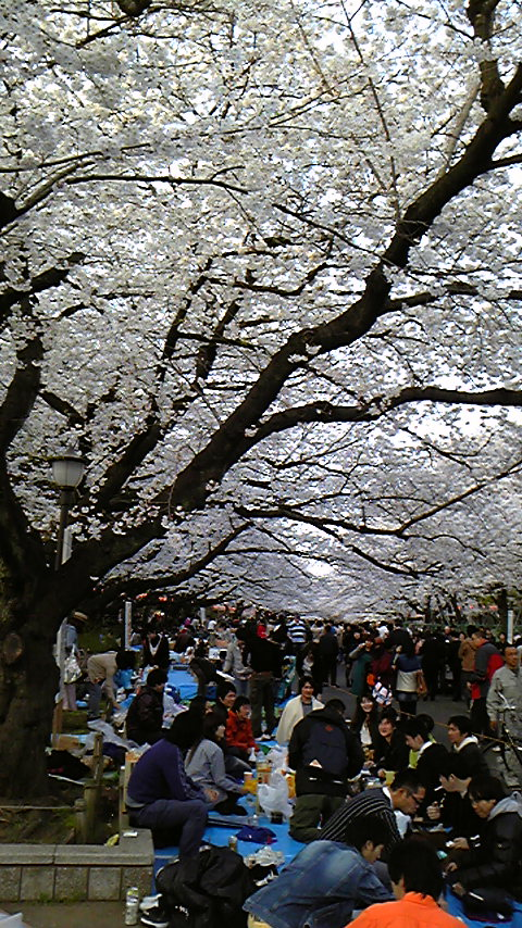 上野公園桜満開
